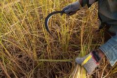 Rijst het oogsten Stock Foto