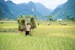 Rijst het oogsten in Vietnam Royalty-vrije Stock Afbeeldingen