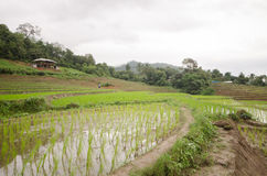 Rijst ingediend terras in oogstseizoen Stock Foto