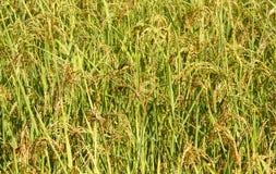 Rijst in Nepal Stock Foto's