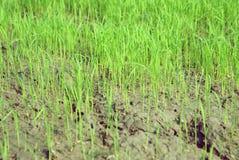 Rijst op gebieden Royalty-vrije Stock Afbeeldingen
