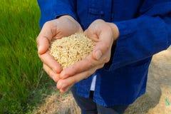 Rijst op hand, ongepelde rijst Stock Foto