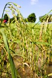 Rijst op het gebied, Thailand Stock Afbeeldingen