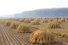 Rijst op het gebied wordt geoogst dat Royalty-vrije Stock Afbeelding