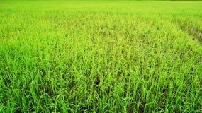 Rijst Paddy Fields Stock Foto