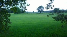 Rijst Paddy Fields stock afbeeldingen