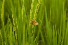 Rijst in padieveld, Selectienadruk slechts op sommige punten in het beeld stock afbeelding