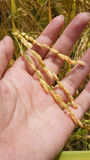 Rijst ter beschikking Stock Fotografie