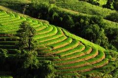Rijst Terrances Stock Foto