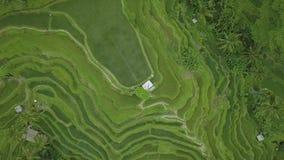Rijst terrasvormige gebieden van boven vliegende hommel E De landbouw industrie stock videobeelden