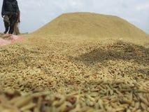 Rijst van padie Stock Afbeelding