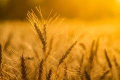 Rijst in zonlicht Stock Afbeeldingen