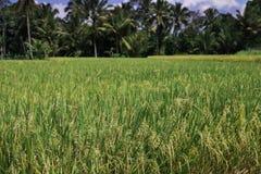 Rijstaanplantingen, Java, Indonesië Stock Afbeelding