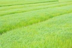 Rijstachtergrond in het gebied Royalty-vrije Stock Fotografie