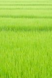 Rijstachtergrond in het gebied Stock Foto's