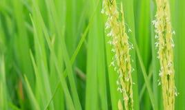 Rijstbloem Stock Afbeeldingen