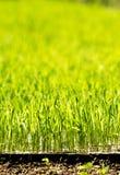 Rijstinstallatie Stock Afbeeldingen