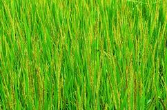 Rijstinstallatie Stock Afbeelding