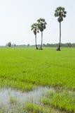 Rijstinstallatie en palmen Stock Afbeeldingen