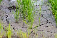 Rijstinstallatie in Gebarsten Modder Stock Afbeeldingen