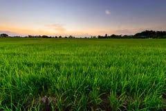 Rijstinstallatie op padiegebied Stock Foto