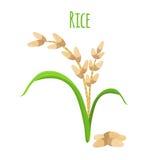 Rijstinstallatie, vegetarisch voedsel Groene oogst, oryzatarwe Vector illustratie Royalty-vrije Stock Foto's
