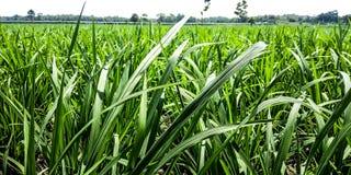 Rijstinstallaties bij dichte waaier stock foto's