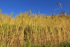 Rijstinstallaties in de groei Stock Afbeelding