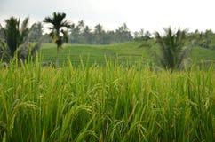 Rijstinstallaties op een gebied Stock Fotografie