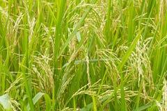 Rijstinstallaties in Paddy Field Royalty-vrije Stock Afbeelding