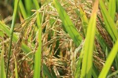 Rijstkorrels bij het landbouwbedrijf, royalty-vrije stock foto