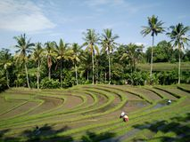 Rijstlandbouwbedrijf Bali Indonesië Stock Fotografie