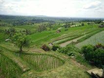Rijstlandbouwbedrijf Bali Indonesië Stock Foto