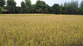 Rijstlandbouwbedrijf en groene boomachtergrond royalty-vrije stock foto's