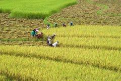 Rijstlandbouwbedrijf het houden Royalty-vrije Stock Afbeelding