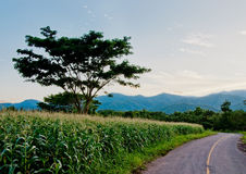 Rijstlandbouwbedrijf met blauwe hemel Stock Fotografie