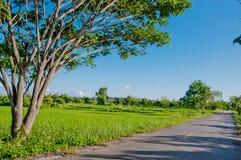 Rijstlandbouwbedrijf met blauwe hemel Stock Afbeeldingen