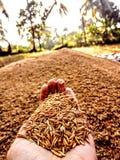 Rijstoogst royalty-vrije stock foto