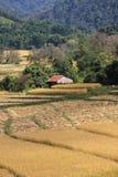 Rijstoogst Stock Fotografie