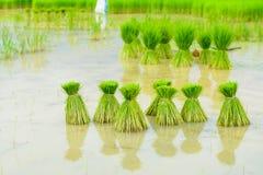 Rijstspruiten Stock Fotografie