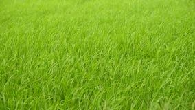 Rijststelen die in de wind slingeren stock footage