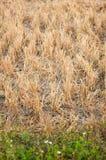 Rijststoppelveld Stock Afbeelding