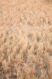 Rijststoppelveld voor dierenvoer Royalty-vrije Stock Afbeelding