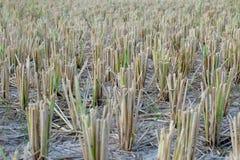 Rijststro Stock Afbeeldingen