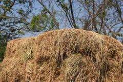 Rijststro in het landbouwbedrijf Royalty-vrije Stock Foto