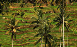 Rijstterrassen, Bali - Indonesië Royalty-vrije Stock Foto's