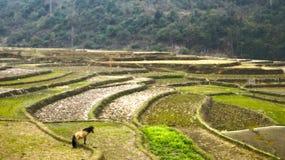 Rijstterrassen de Noord- van Vietnam Stock Foto's