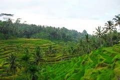Rijstterrassen op Bali Stock Afbeeldingen
