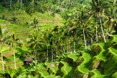 Rijstterrassen in Ubud, Bali, Indonesië Royalty-vrije Stock Afbeelding