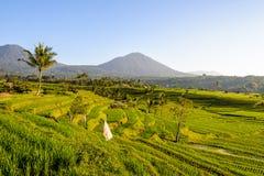 Rijstterrassen van Jatiluwih Stock Foto